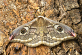 Female of Saturnia pavonia, the small emperor moth, camouflage on tree trunk and wing eye spots. - PhotoDune Item for Sale