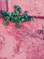 Green plant growing up in a pink wall - PhotoDune Item for Sale