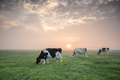 cows grazing in row at sunrise - PhotoDune Item for Sale