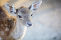 White-tailed deer fawn in zoo - PhotoDune Item for Sale