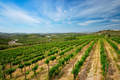 Wineyard with grape rows - PhotoDune Item for Sale