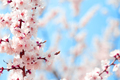 Blooming cherry sakura against blue sky - PhotoDune Item for Sale