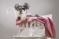 Dog miniature schnauzer in a hat lies in a white carriage - PhotoDune Item for Sale