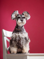 Miniature Schnauzer on a chair in the studio - PhotoDune Item for Sale