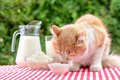 Red cat on a table with dairy products eats sour cream with his tongue - PhotoDune Item for Sale