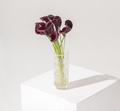 purple calla flower isolated studio still life photo - PhotoDune Item for Sale