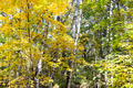 yellow and green maple leaves and white birches - PhotoDune Item for Sale