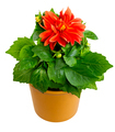 Isolated potted dahlia flower - PhotoDune Item for Sale