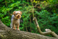Selective focus shot of a cute yorkshire terrier on a tree trunk - PhotoDune Item for Sale
