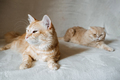 Introducing Two Cats. Adopt a Second Cat. Adding a second cat to your household. Peaceful multi-cat - PhotoDune Item for Sale