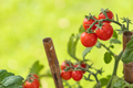 Ripe Cherry Tomatoes On The Vine In Garden - PhotoDune Item for Sale