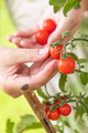 Woman Picking Ripe Cherry Tomatoes On The Vine in the Garden - PhotoDune Item for Sale