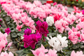 White and pink cyclamen flowers - PhotoDune Item for Sale