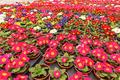 Field of Primroses - PhotoDune Item for Sale