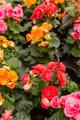 Colorful Begonia Roses - PhotoDune Item for Sale