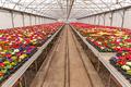 Colourful primroses growing - PhotoDune Item for Sale