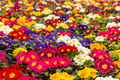 Colorful primroses in early spring - PhotoDune Item for Sale