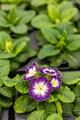 Beautiful blooming primrose - PhotoDune Item for Sale