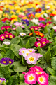 Colorful primulas in a greenhouse - PhotoDune Item for Sale