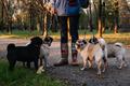 Dog walking. Professional dog walker walking dogs in autumn sunset park. Walking the pack array of - PhotoDune Item for Sale