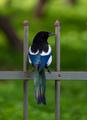 Wildlife concept. Μagpie wild bird, pica-pica, europian, common, eurasian magpie on grey railings. - PhotoDune Item for Sale