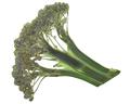 Dried flattened Broccoli head (Brassica oleracea var. italica), isolated, top  view - PhotoDune Item for Sale