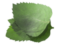 Dried flattened Mint leaves (Mentha piperita), isolated, top  view - PhotoDune Item for Sale