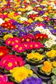 Multicolor garden primrose flowers - PhotoDune Item for Sale