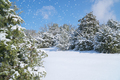 Juniper and spruce in snow. - PhotoDune Item for Sale