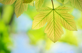 Spring leaf of maple - PhotoDune Item for Sale