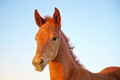 Portrait of young foal. - PhotoDune Item for Sale
