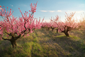 Spring of peach garden. - PhotoDune Item for Sale