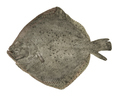 Turbot fish prepared seafood isolated on white background - PhotoDune Item for Sale