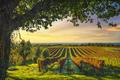 Bolgheri vineyard and a tree at sunset. Maremma, Tuscany, Italy - PhotoDune Item for Sale