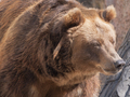 Brown Bear Ursus Arctos Portrait On The Hunt. - PhotoDune Item for Sale