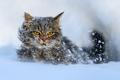 Cat walking in the snow in winter - PhotoDune Item for Sale