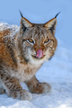 Lynx portrait in the snow. Wildlife scene from winter nature - PhotoDune Item for Sale