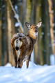 Roe deer in the winter forest. Animal in natural habitat - PhotoDune Item for Sale