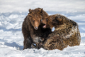 Two wild adult Brown Bear (Ursus Arctos) in the winter forest. Dangerous animal in natural habitat - PhotoDune Item for Sale