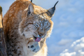 Lynx wash in the snow. Wildlife scene from winter nature - PhotoDune Item for Sale