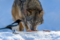 Gray wolf, Canis lupus, eat meat in the winter forest. - PhotoDune Item for Sale