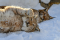 Lynx in the snow. Wildlife scene from winter nature - PhotoDune Item for Sale