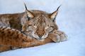 Lynx sleep in the snow. Wildlife scene from winter nature - PhotoDune Item for Sale