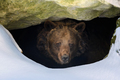 Brown bear looks out of its den in the woods under a large rock in winter - PhotoDune Item for Sale