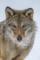 Close up portrait wolf in winter forest background - PhotoDune Item for Sale