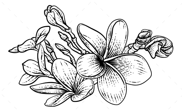 Plumeria Frangipani Tropical Bali Flower Drawing