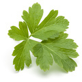 Fresh parsley herb leaves  isolated on white background - PhotoDune Item for Sale