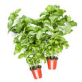 Fresh sweet Genovese basil herbs growing in pot isolated on white background cutout. Flat, top view. - PhotoDune Item for Sale