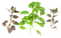 Varieties of basil leaves isolated on white background. Flat, Top view. - PhotoDune Item for Sale