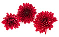 Red chrysanthemum flower isolated on white background - PhotoDune Item for Sale
